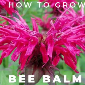 Bee Balm - Monarda Didyma - Complete Grow and Care Guide