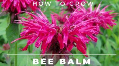Bee Balm - Monarda Didyma - Complete Grow and Care Guide