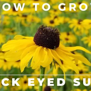 Black Eyed Susan, Rudbeckia Hirta - Comprehensive Grow and Care Guide
