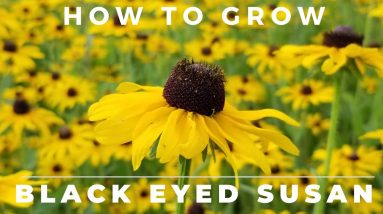 Black Eyed Susan, Rudbeckia Hirta - Comprehensive Grow and Care Guide