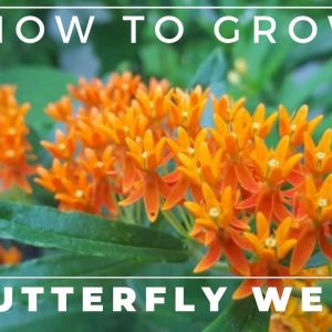 Complete Guide to Butterfly Weed - Grow and Care, Asclepias tuberosa
