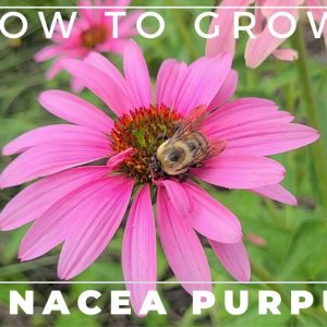 Complete Guide to Purple Coneflower - Echinacea purpurea