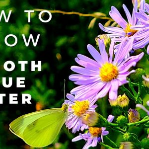 Smooth Blue Aster - Complete Guide