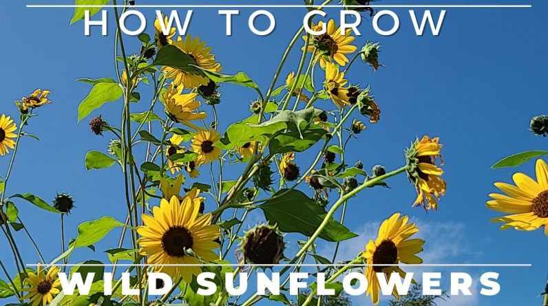 Wild Sunflower - Complete Grow and Care Guide