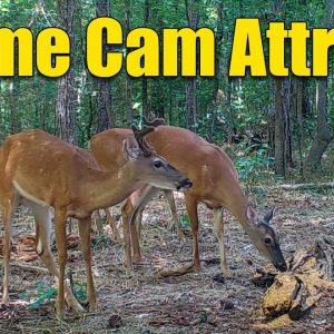 Deer Attractant Fast Acting for Game Cameras and Hunting