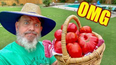 Growing Big Tomatoes Naturally