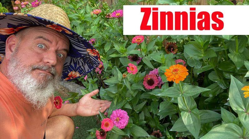 Growing Zinnias and Care of Zinnia Plants