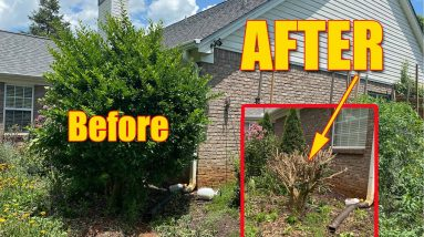 Trimming Big Bushes and Hedges Overgrown