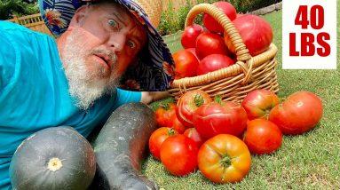 Home Garden Tomato Harvest